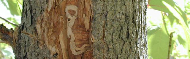 Services Traitement contre l'agrile du frêne