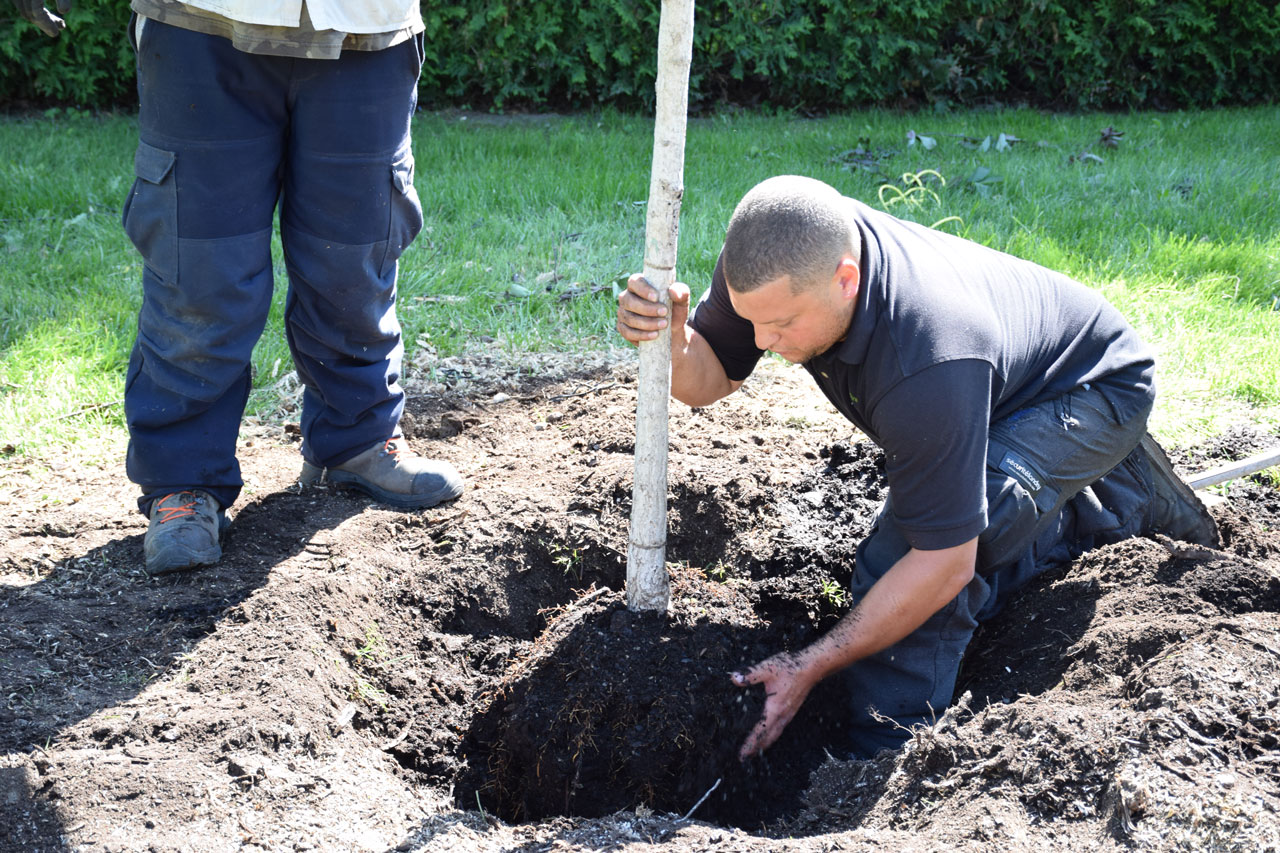 Plantation et transplantation d 39 arbres montr al arbo direct - Plantation d arbres synonyme ...